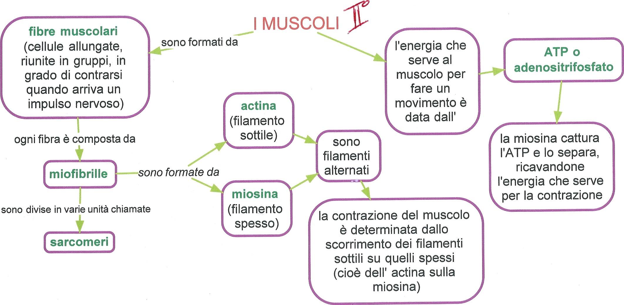 scienze i muscoli 2